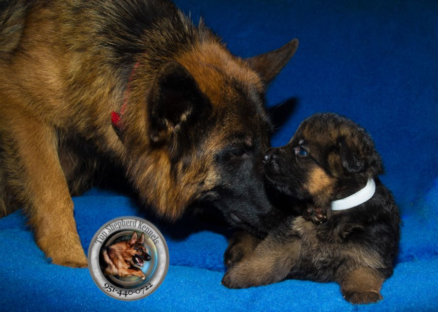 Champions Stock coat german shepherd puppies.