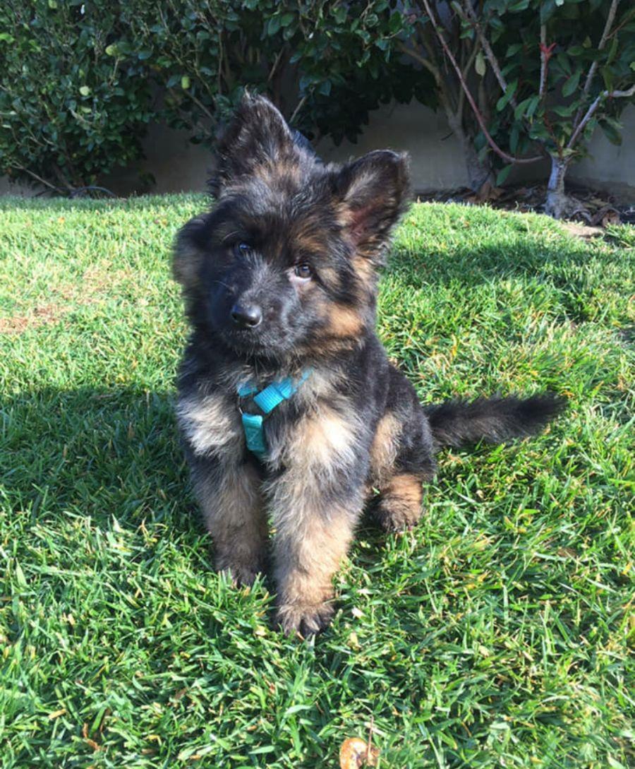 Vom Schollenäcker Direct imports World Champion male Puppy