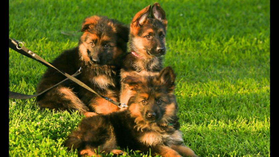 Short coat german shepherd puppies. World Champion Bloodline.