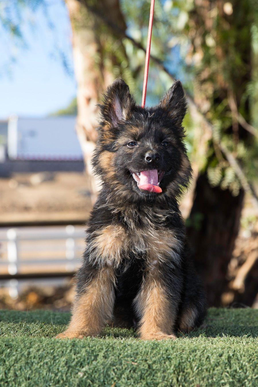 Long coat puppy Darla