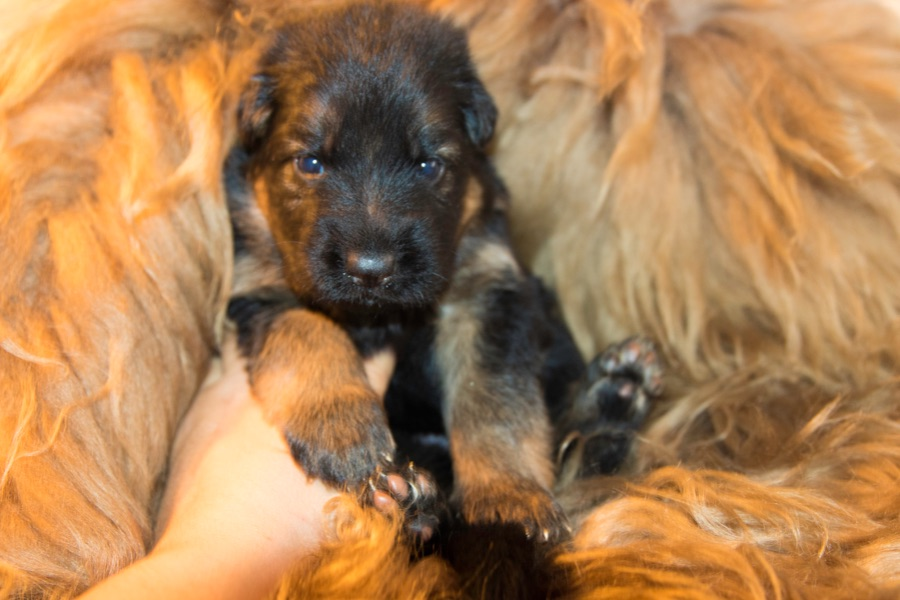 Stock coat german shepherd puppies
