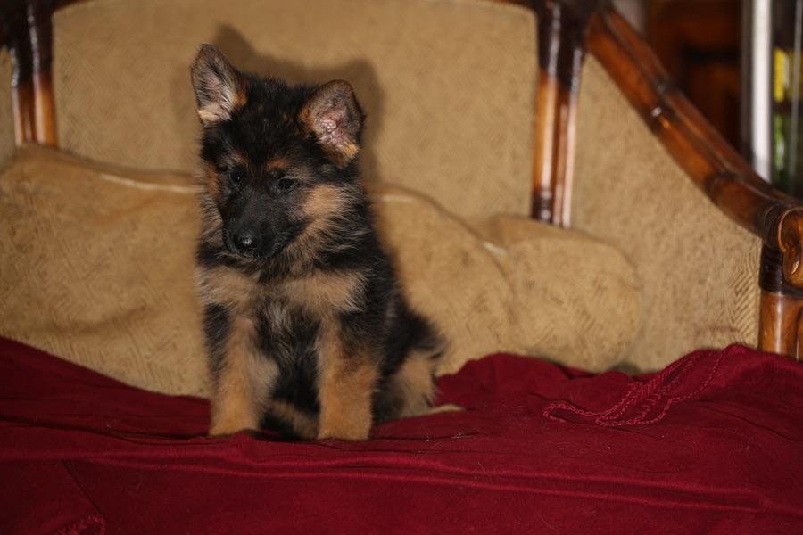 Stock coat puppy Ella