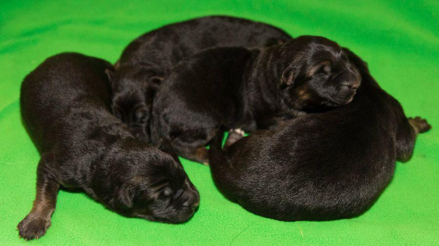 Stock coat German Shepherd Puppies