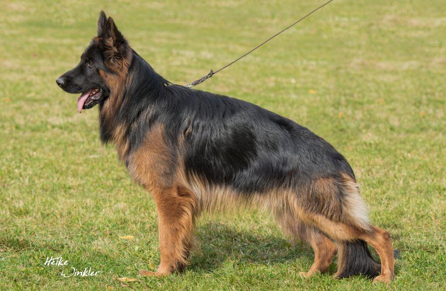 V Ulan Vom Billberg IGP3 Schutzhund